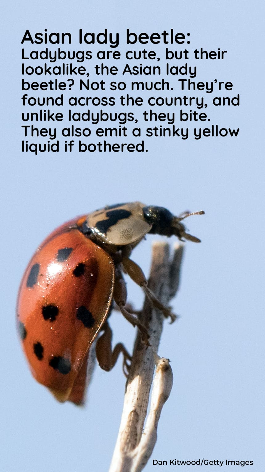 image: red beetle. TEXT: Asian lady beetle: Ladybugs are cute, but their lookalike, the Asian lady beetle? Not so much. They're found across the country, and unlike ladybugs, they bite. They also emit a stinky yellow liquid if bothered.