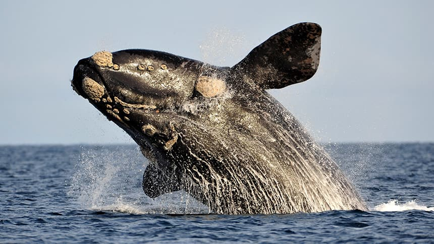 a right whale breaches out of the surface of the water.