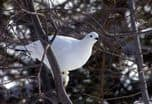 WILLOW PTARMIGAN.jpg