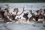 George River herd swim to shore.jpg