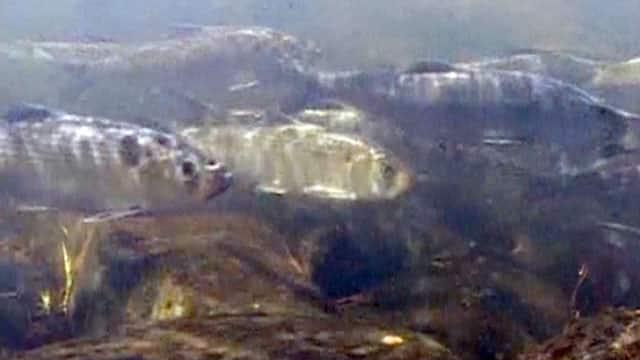 Alewives: A Border Dispute