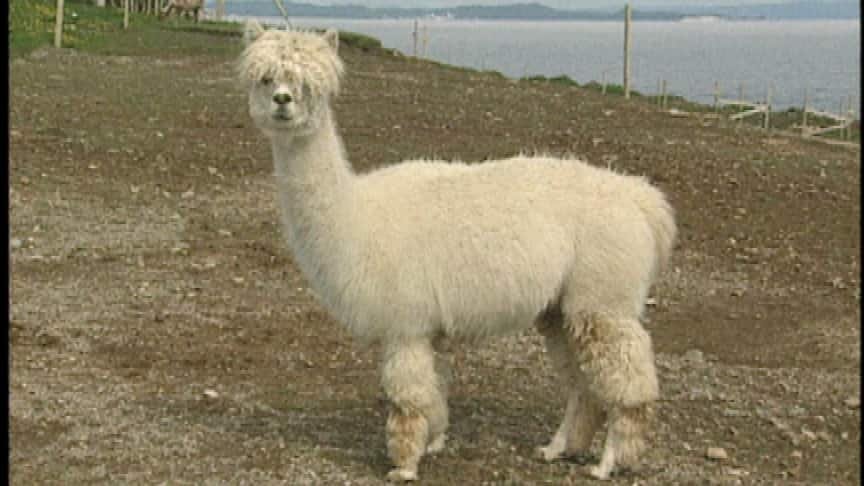 The Alpacas of Port au Port