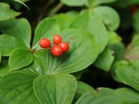 Bunchberry-(200x150).jpg