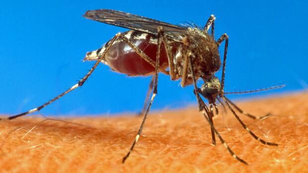 mosquitoeCBC.jpg