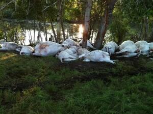 Dead Cows 2.JPG