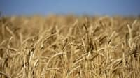 wheat-crop-prairies.jpg