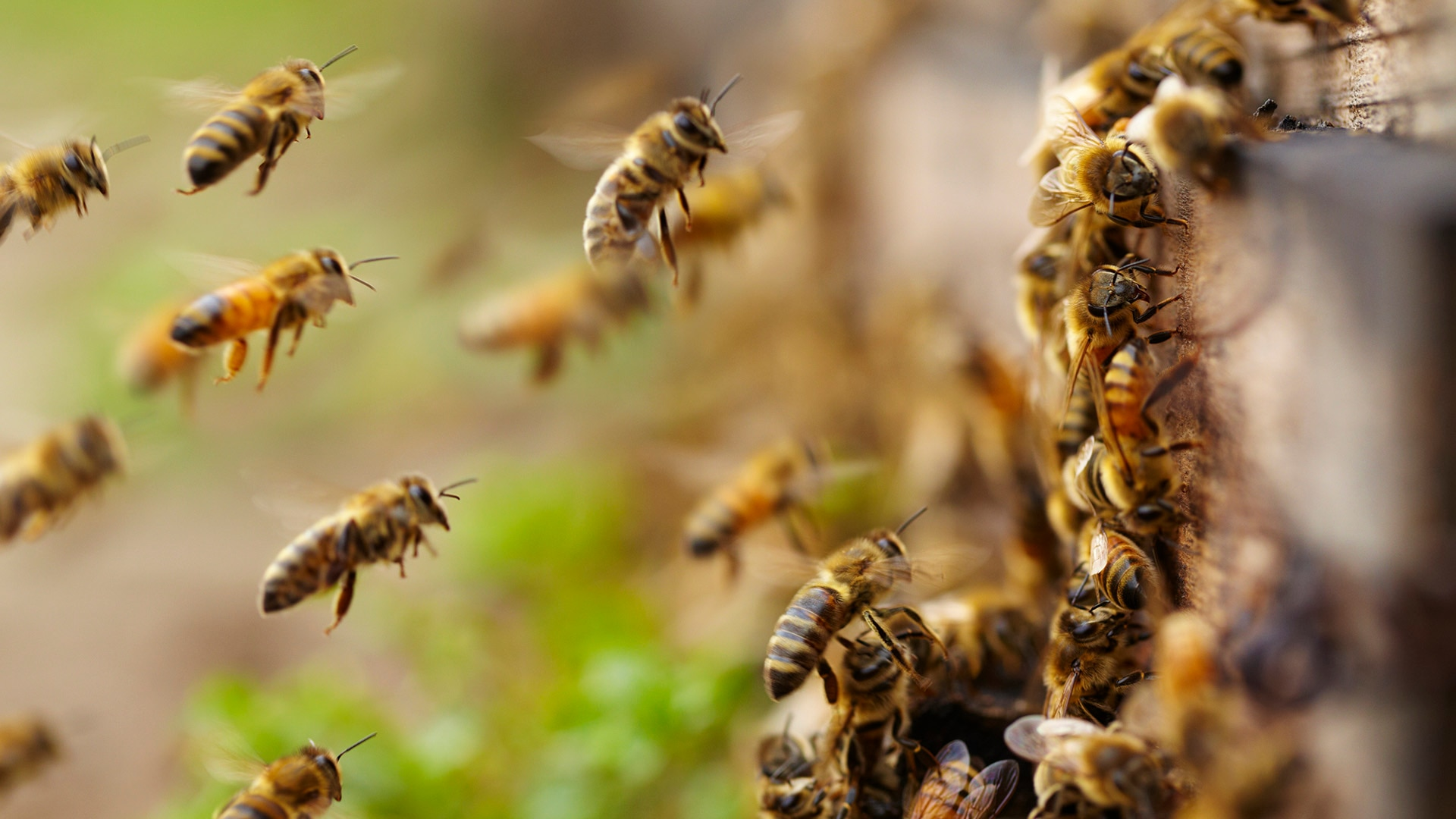 They dance and may even dream: Six things you may not know about honeybees