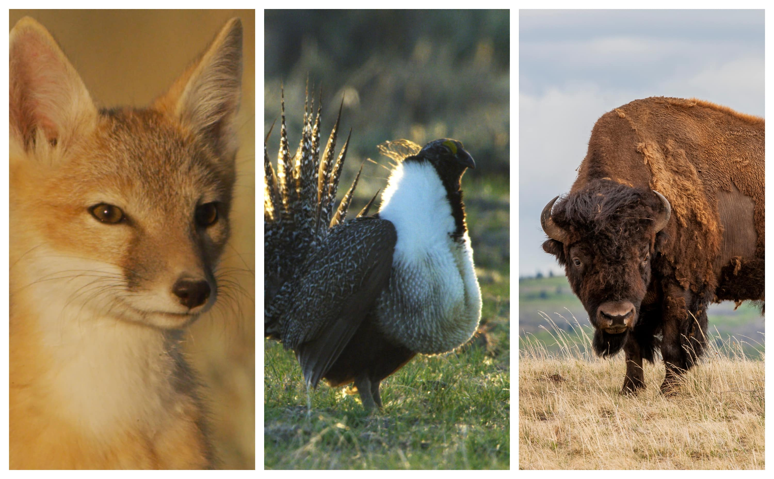 Ferrets, foxes and the fringed orchid: Species that suffer when grasslands are threatened