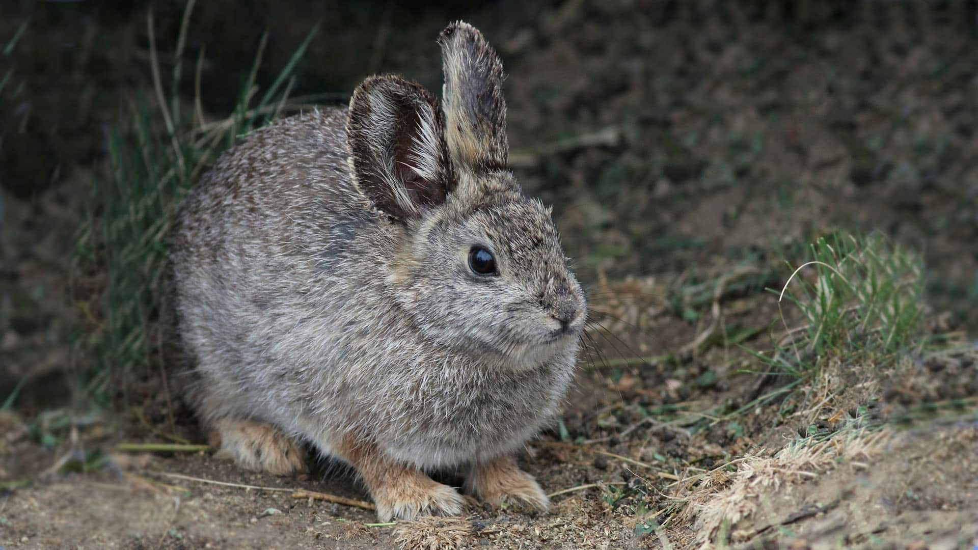 The cutest rabbit in the world is on the brink of extinction