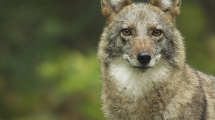 Meet the Coywolf: Behind the Scenes