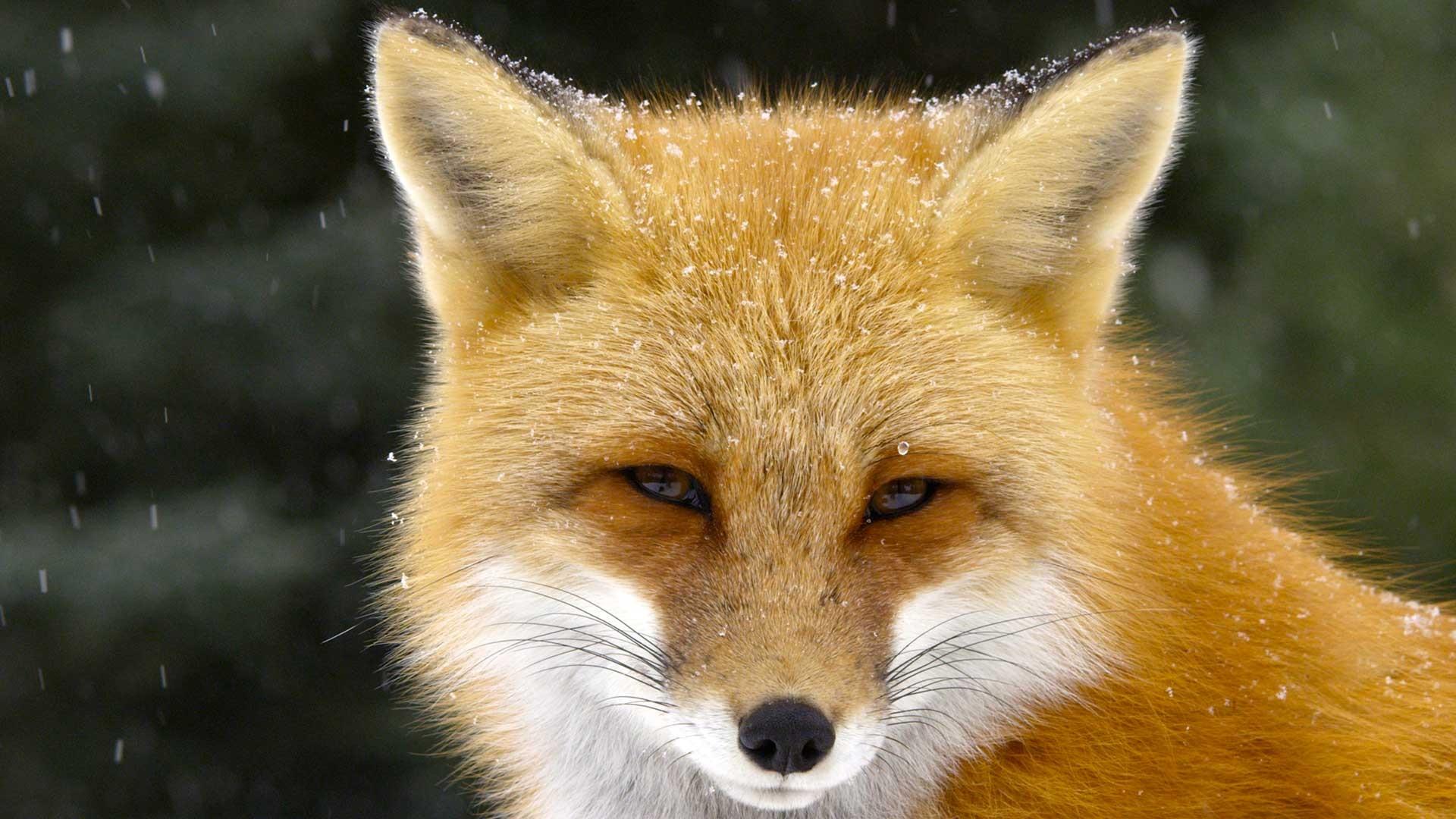 0x00 Fox Tales