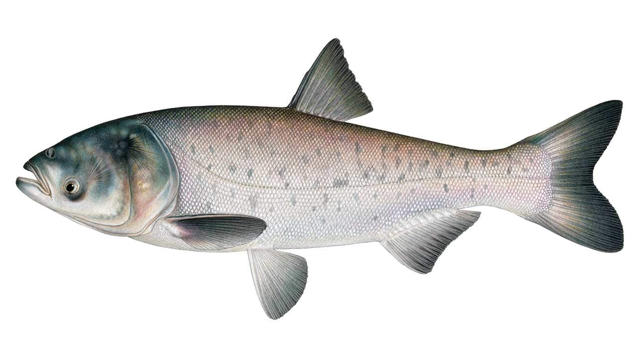Asian Carp: Menace or Meal?