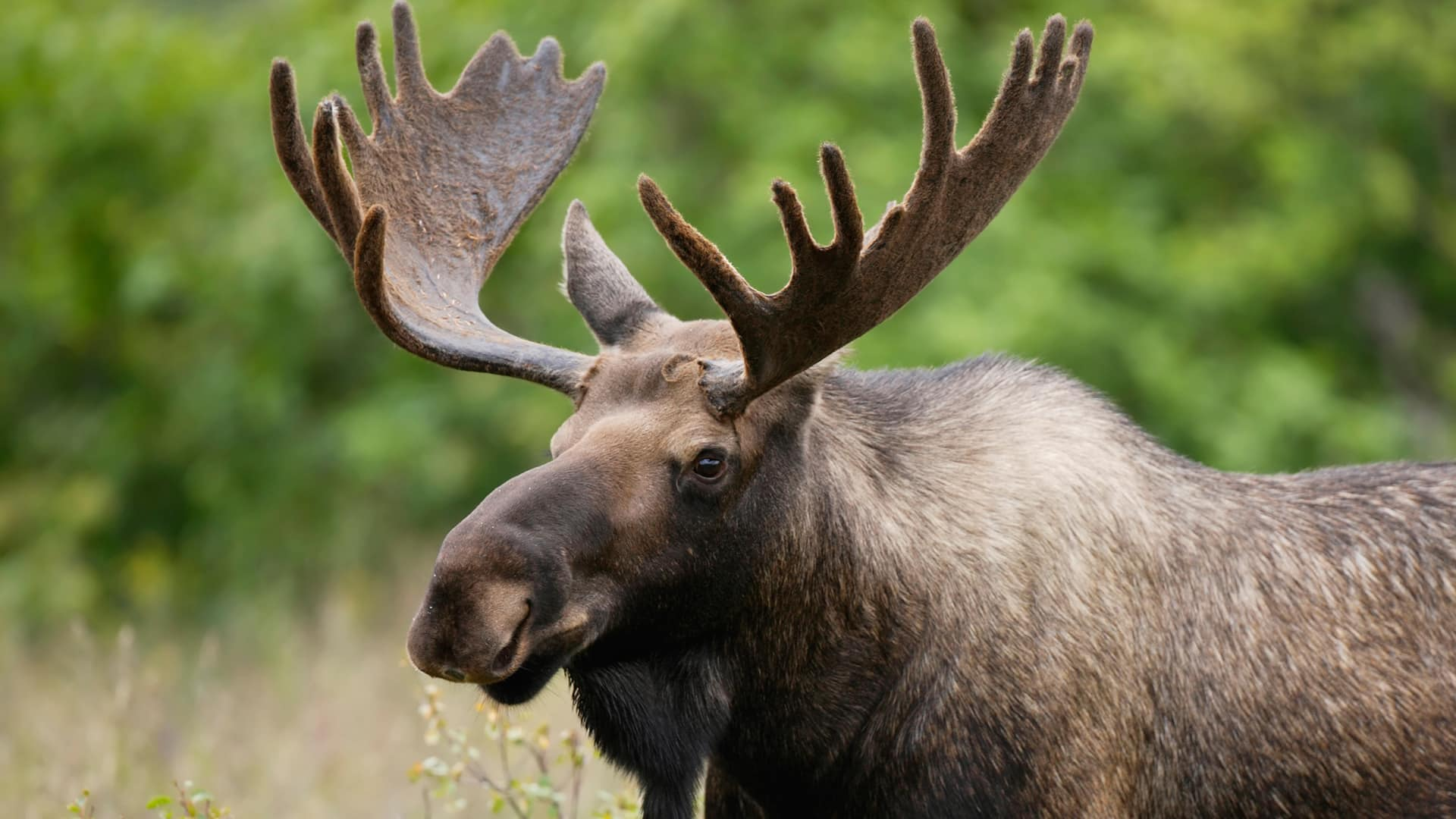 Moose: Everything You Ever Wanted to Know