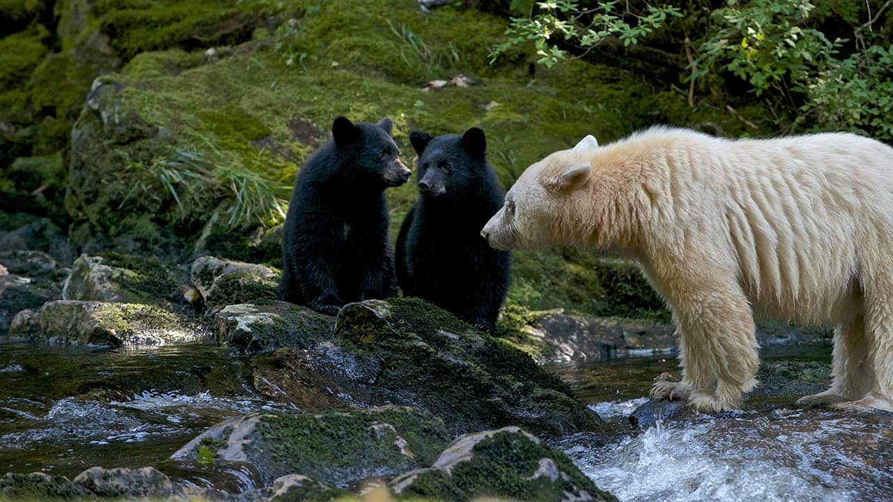 Spirit Bear Family