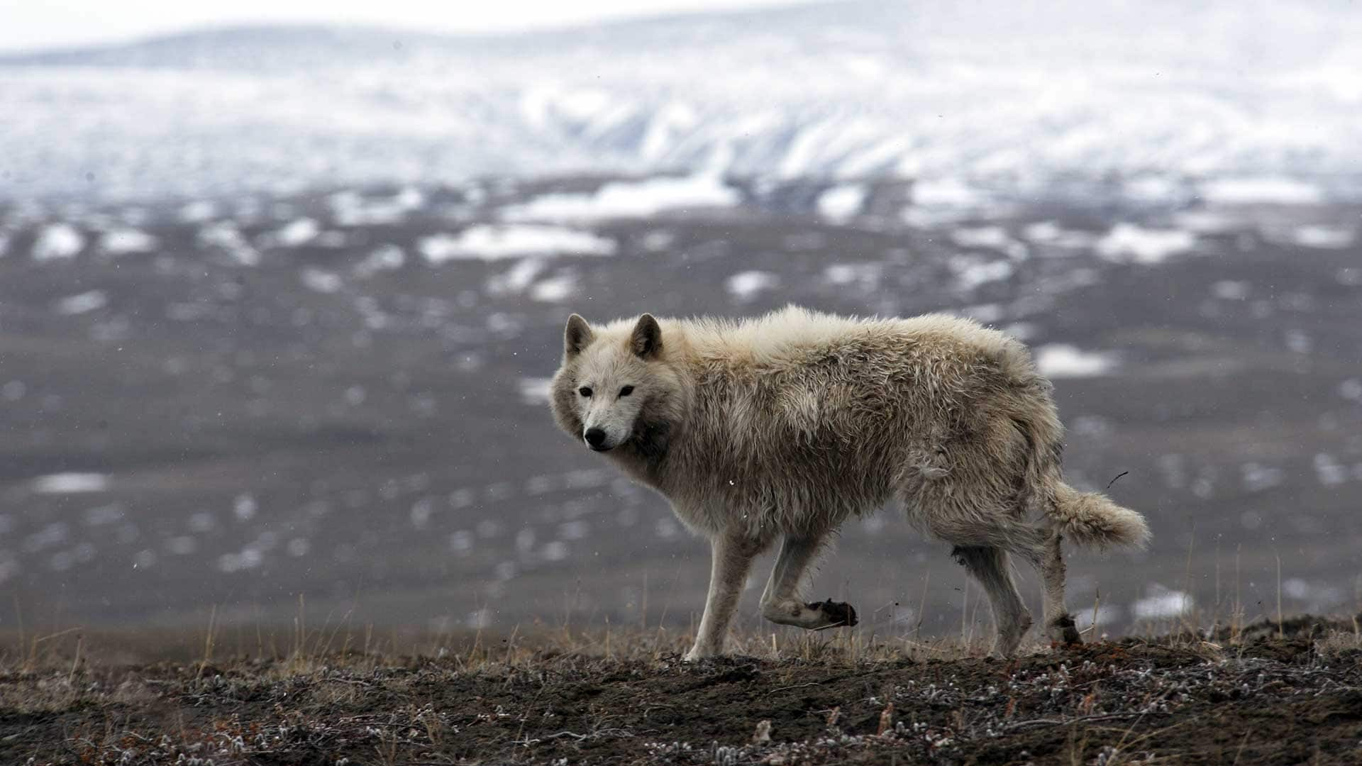 Wolves Thrive in Some of the Harshest Places on Earth