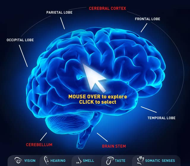 Cbc Interactive Map Of The Human Brain