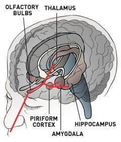 olfaction pathway