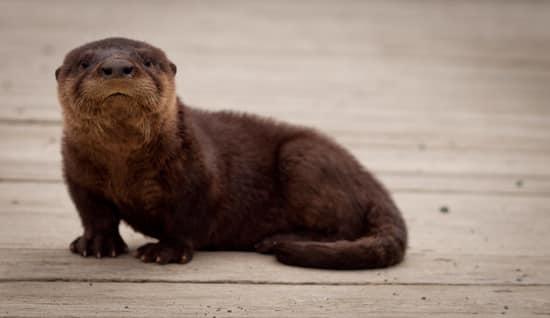 Otter Quidi Vidi Lake.jpg