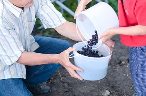 Parent holding bucket as child dumps in blueberries.