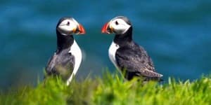 puffins_lead_tnot