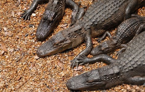 A family of American alligators.