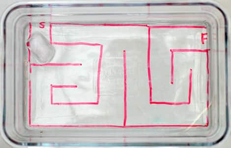 """Простой лабиринт было обращено на нижней стороне ясной, мелкой стеклянной форме для выпечки. Существует An 'S', чтобы отметить начало и """"F"""", чтобы отметить отделку."""
