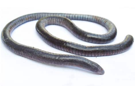 A worm-like creature known as a caecilian.