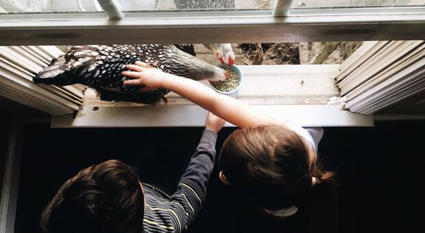 kids tending to urban chickens