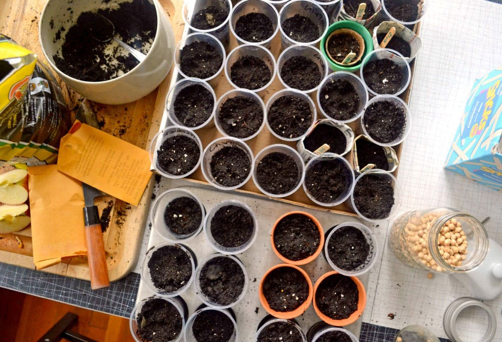 An overhead of a table laid out with top soil, cups filled with soil and marked with popsicle-stick indicators, and a container of chick peas.