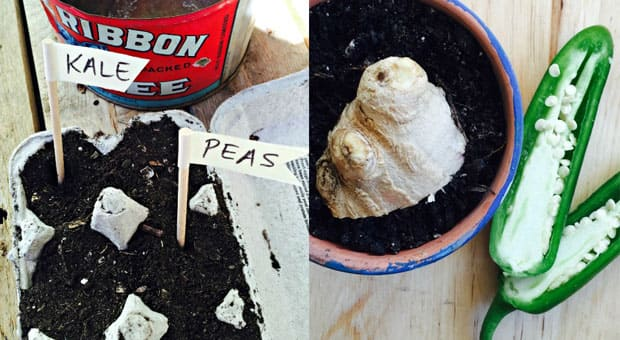 Two pictures. The first is of egg carton with soil; the second is with ginger planted
