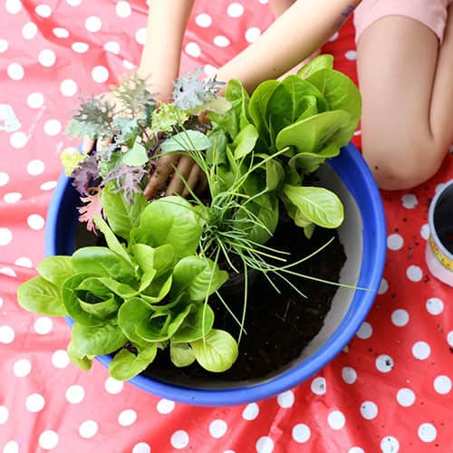A child plants lettuce and herbs in a clay pot.