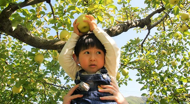 Child is held up to pick an apple in the orchard