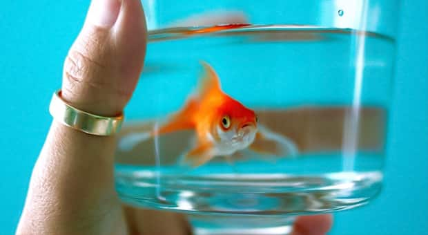A goldfish swims in a small glass