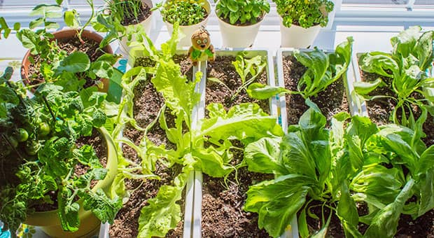 Edible plants in containers