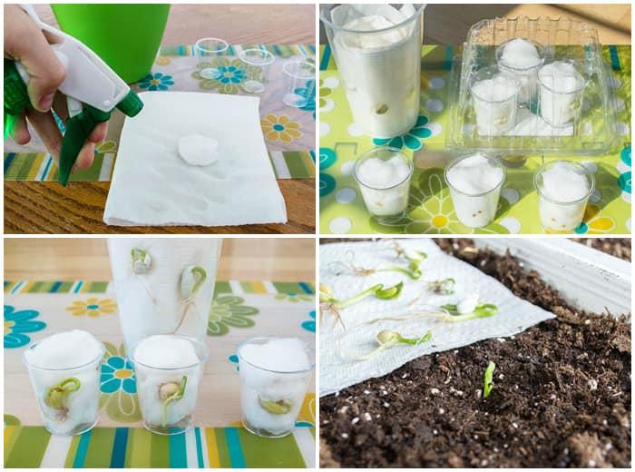 4 steps to sprouting seeds in clear plastic cups