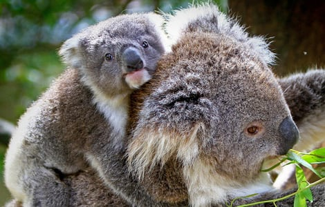 A baby koala on the back of its mother.