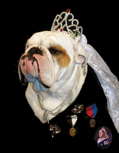 Margaret the English Bulldog dressed as Queen Victoria.