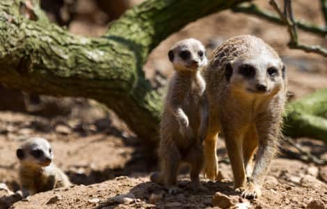 A parent meerkat with two pups.