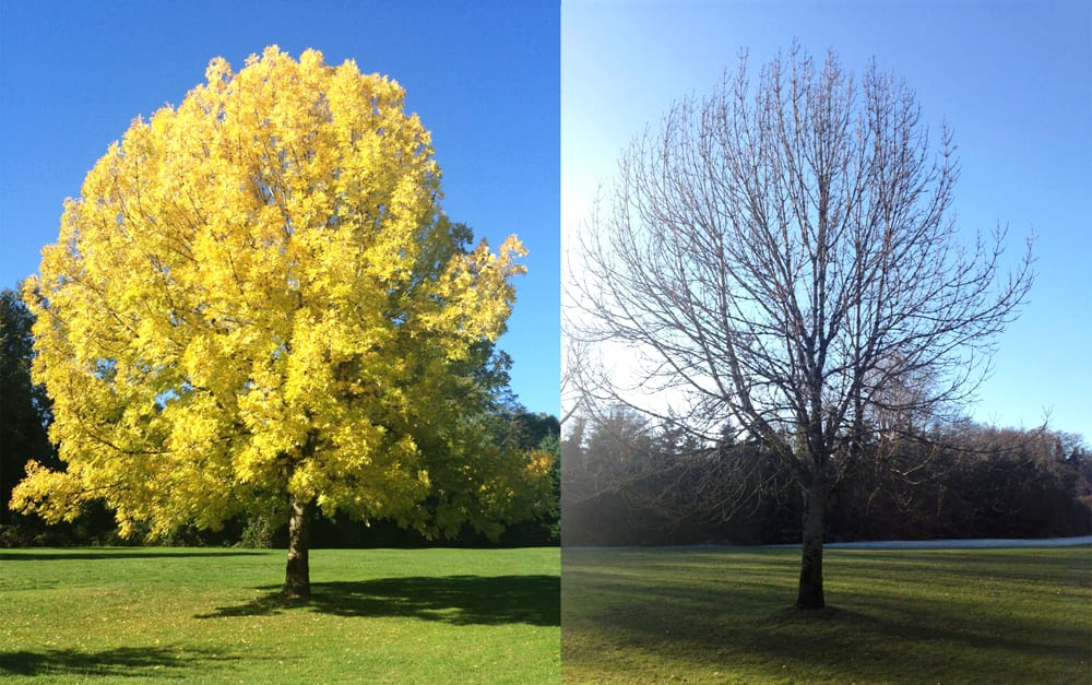 A tree in autumn, and in winter.