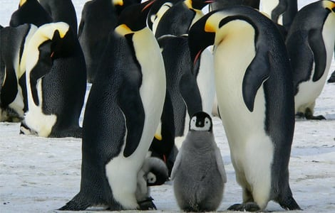 A group of emperor penguins with penguin chicks.