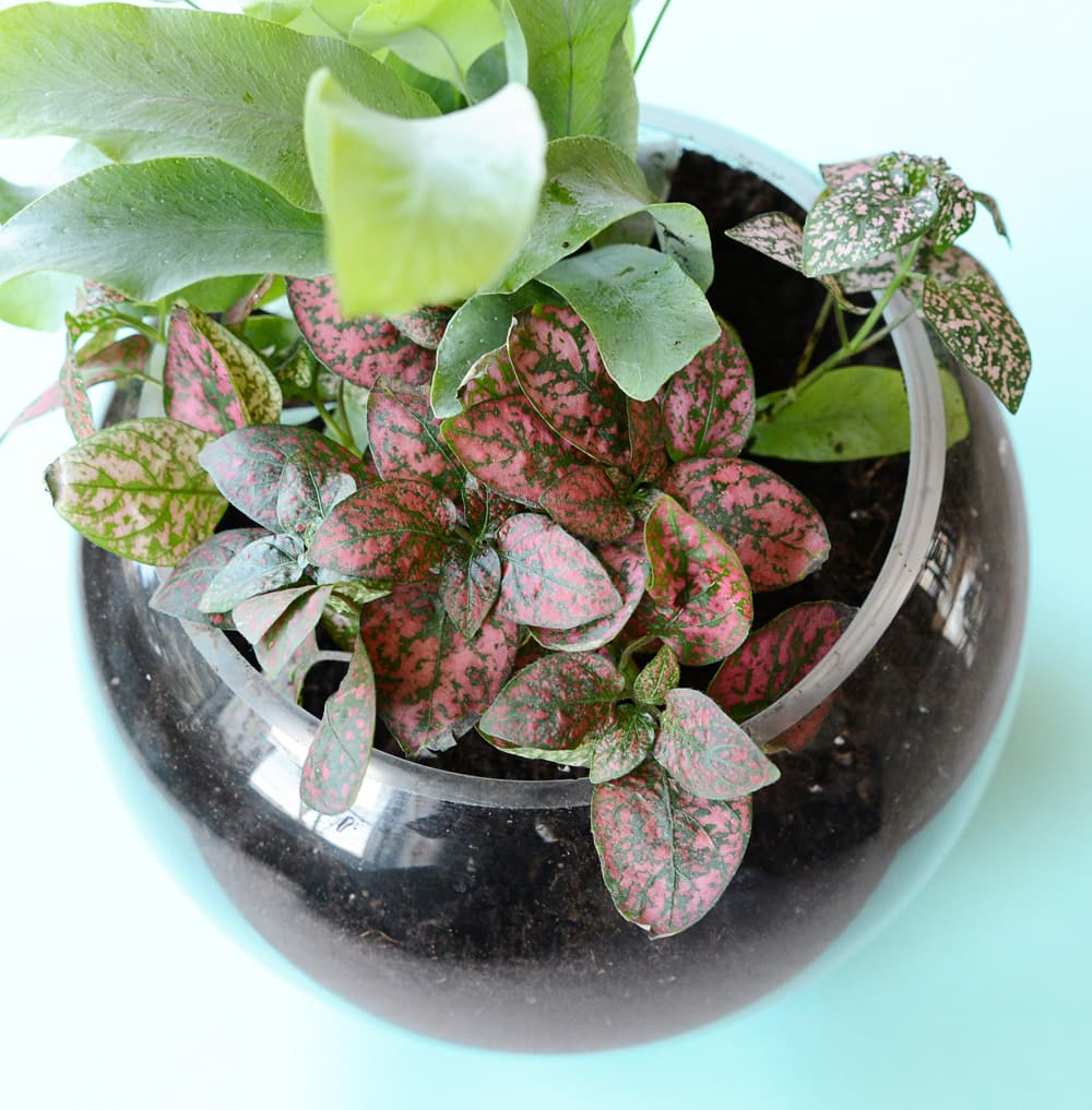 A small glass bowl filled with potting soil and plants.