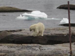 Greenspond bear