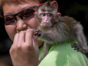 Macaque attitude