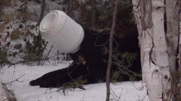 bear-gets-head-stuck-in-jar-near-sudbury.jpg