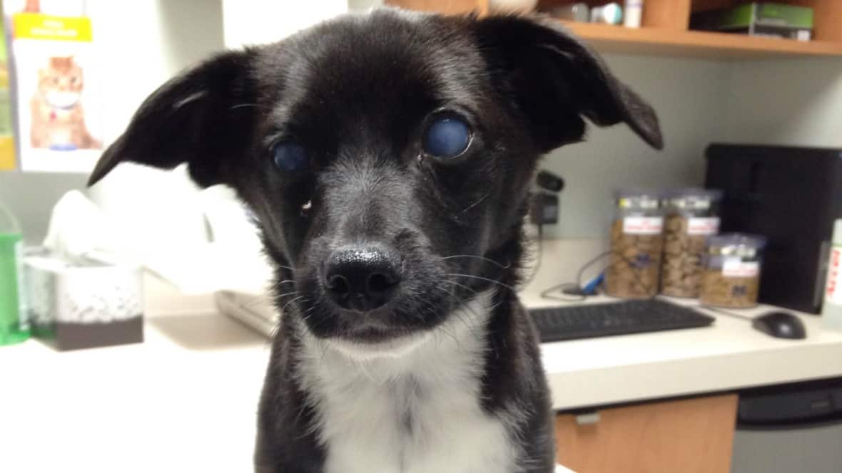 Abused Blinded Puppy Flown To Winnipeg For Treatment Cbc News