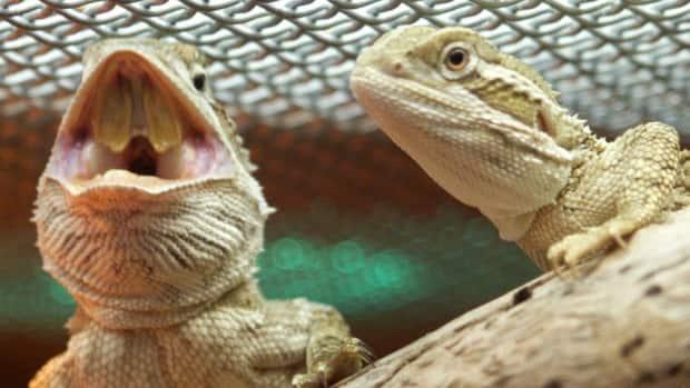 http://www.cbc.ca/polopoly_fs/1.3135923.1435859131!/fileImage/httpImage/image.jpg_gen/derivatives/16x9_620/bearded-dragon-lizards-in-melbourne-zoo.jpg
