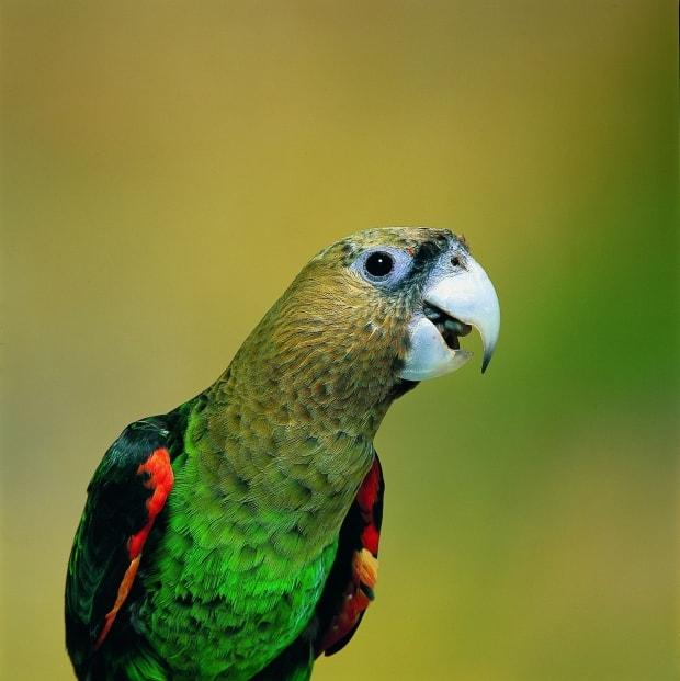 New species of parrot: Cape Parrot DNA New Species