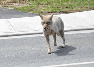 mahon-coyote.jpg