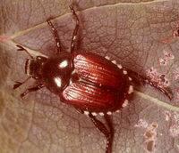 Japanese Beetle Adult2.jpg
