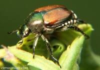japanese_beetle_001.jpg